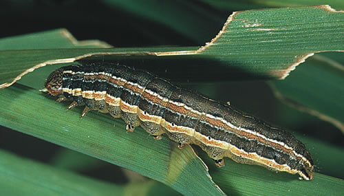 How To Get Rid Of Worms & Grubs In Your Lawn | Arbor-Nomics