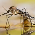 mosquito thumbnail image