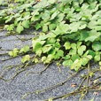 kudzu that needs lawn care service to remove