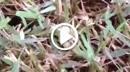 video about armyworm lawn care service