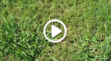 video about dallisgrass lawn treatment