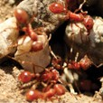 group of fire ants