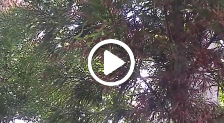 tree with cryptomeria canker disease