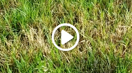 Atlanta lawn care video for treating dollar spot