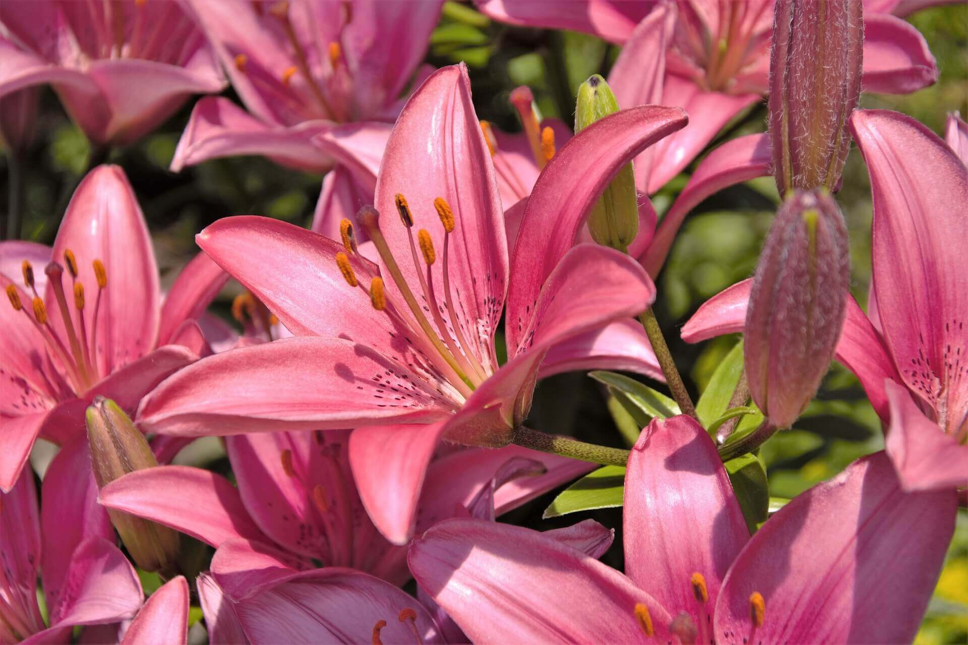 Pink lilies in lawn