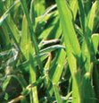 Treating Foreign Grasses