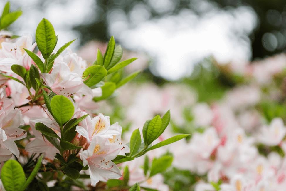 Pink azalea shrubs