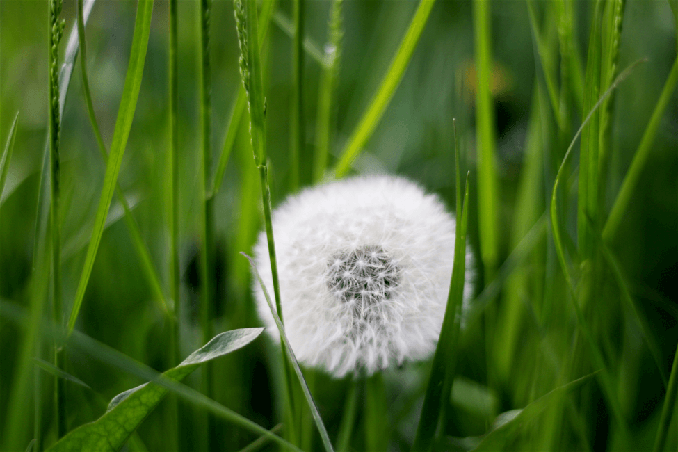 Dandelion weed nestled in grass.
