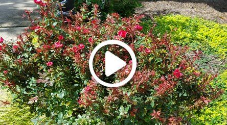 How to Identify and Treat Rose Rosette Disease