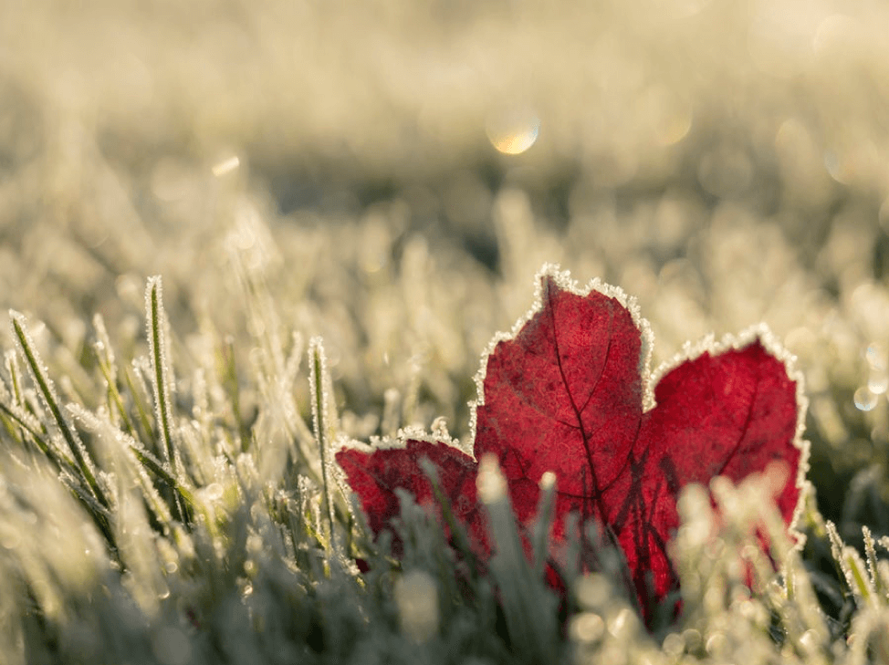 Leaf in grass covered in snow.
