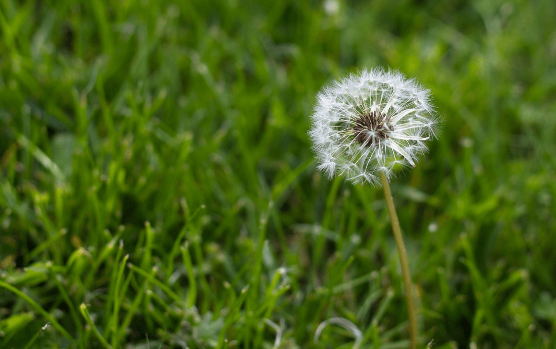 Close-up of dandelion weed.