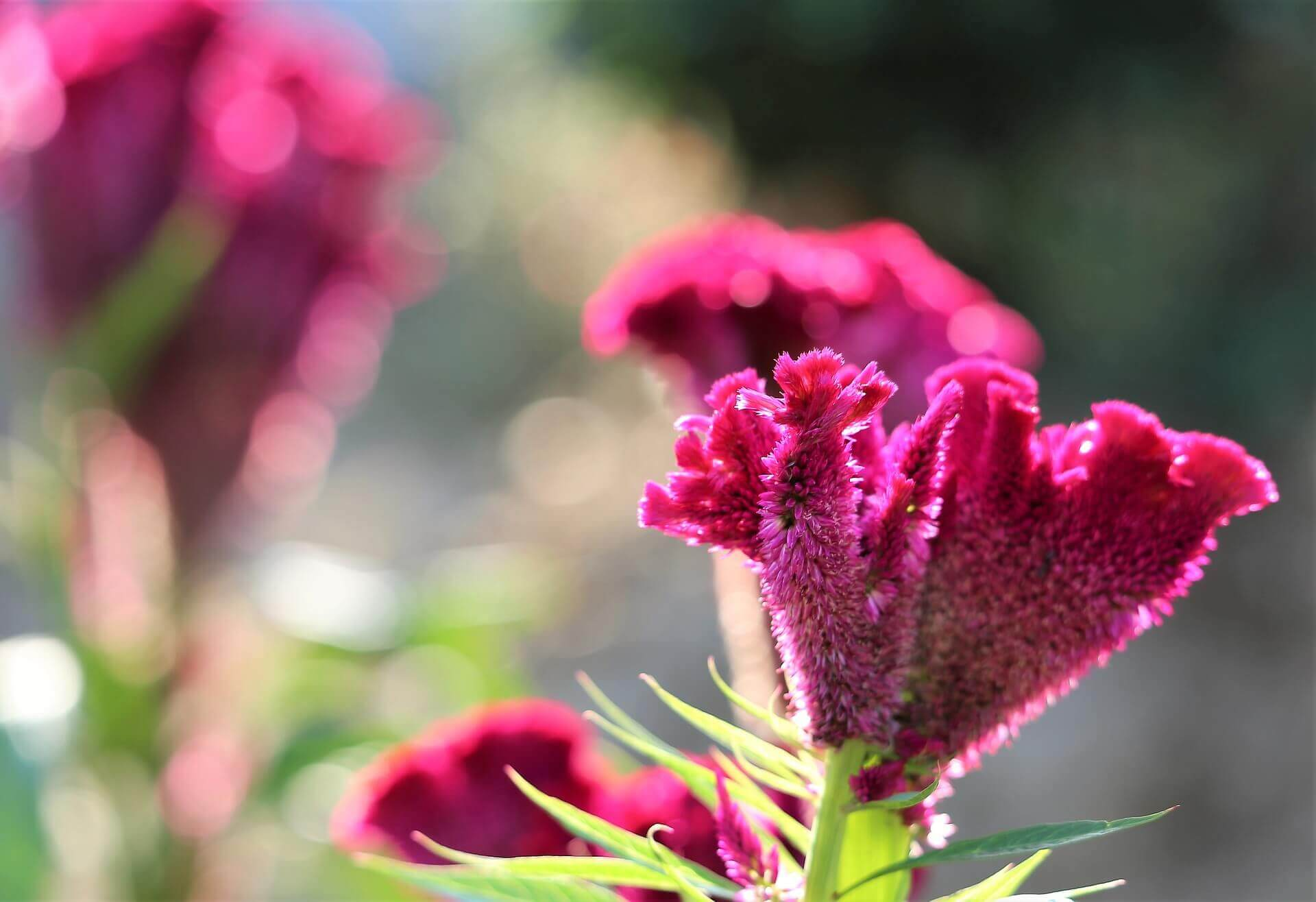 Close-up of celosia bloom.