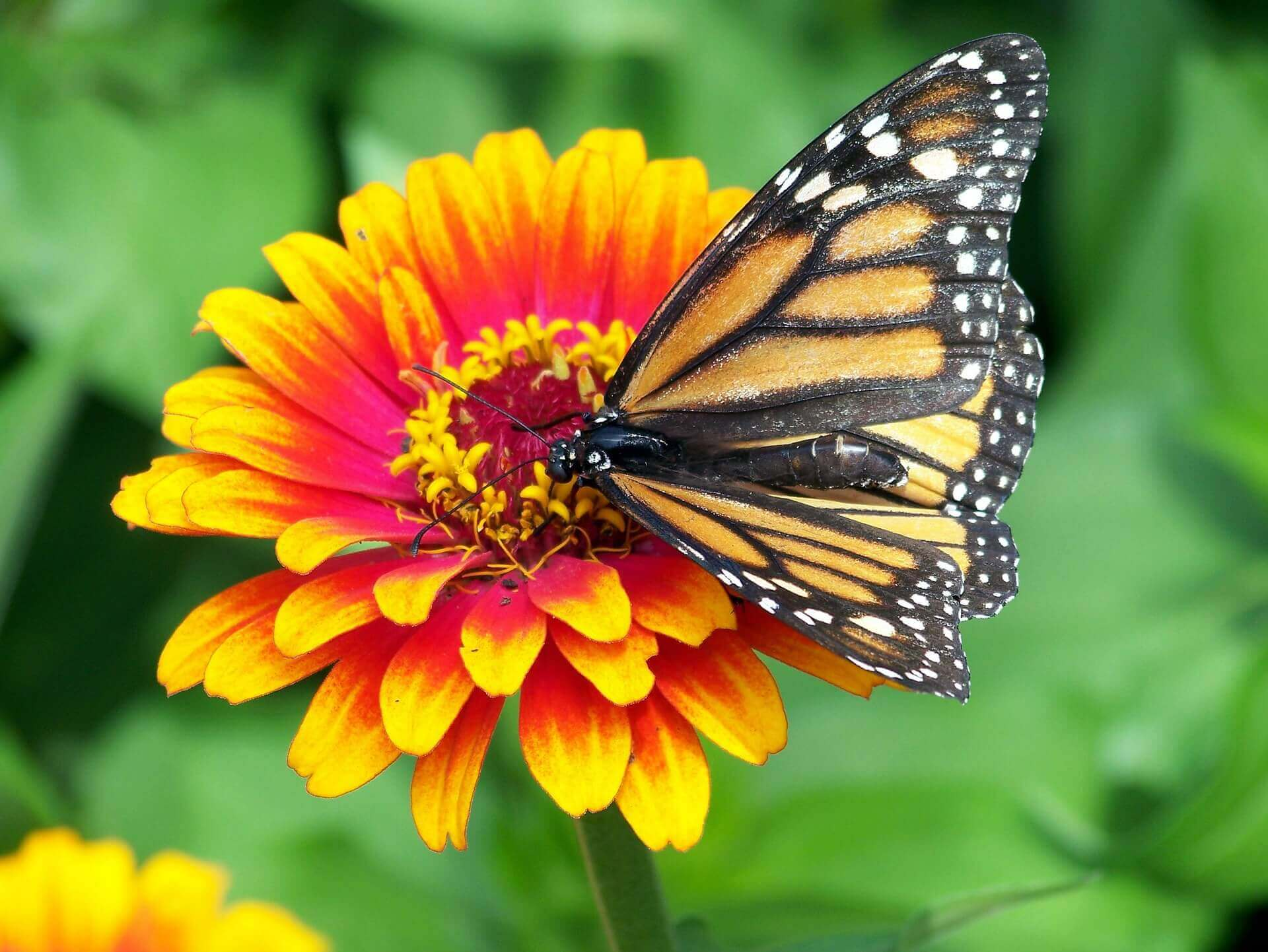 Monarch butterfly on zinnia flower.