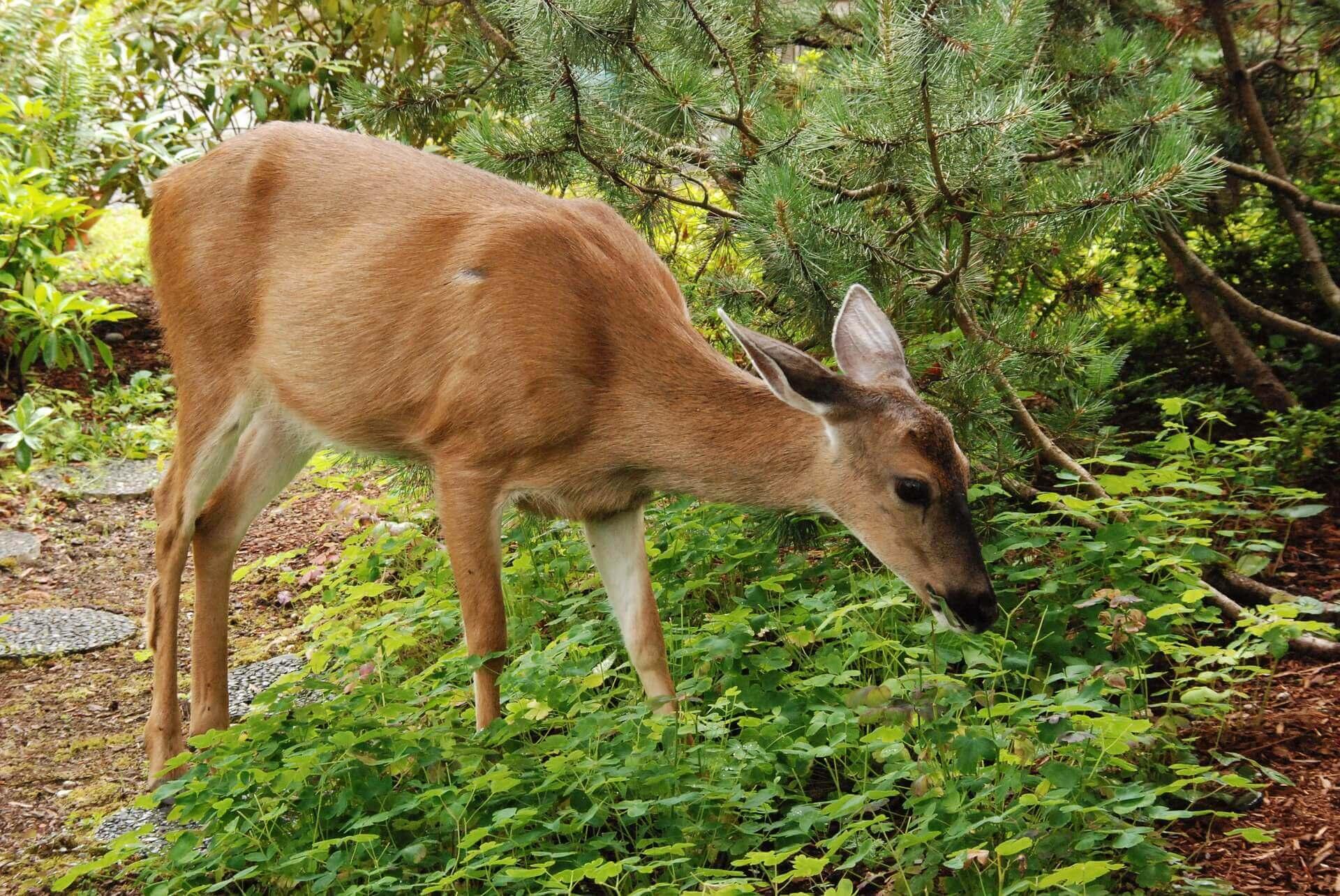 Deer eating vegetation in lawn