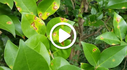 Leaf Spot Disease on Ligustrum
