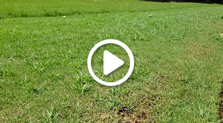 Saturated Soil and Grassy Weed Development