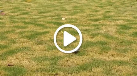 Irregular Turf Pattern Due to Frost